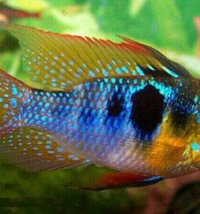 Аквариумные рыбки Апистограмма рамирези