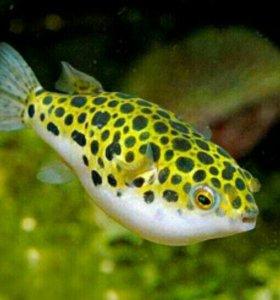 Аквариумные рыбки тетрадон