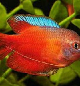 Аквариумные рыбки лялиус красный