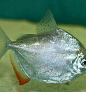 Аквариумные рыбки Метинес
