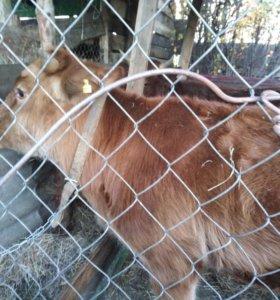 Корова и быки
