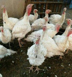 Продам мясо индюка , гусей, курицы