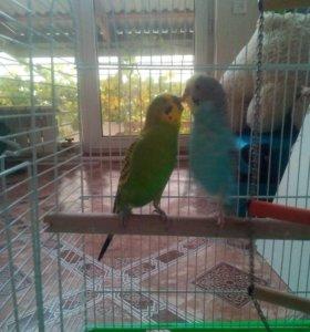 Волнистые попугайчики.мальчик и девочка.