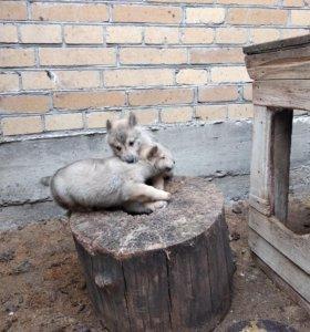 Западно сибирская лайка
