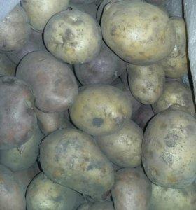 Картофель крупный и капуста