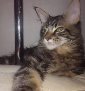 Котик мейн-кун ,