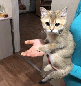 Британские котята золотой шиншилы
