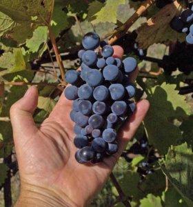 отдам виноград