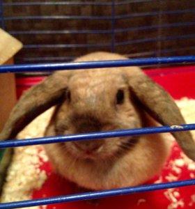 Декоративный кролик(барашек)
