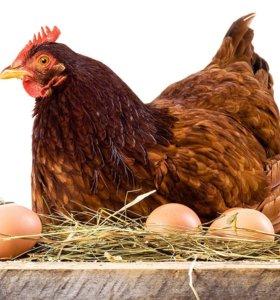 Курочки на яйцо