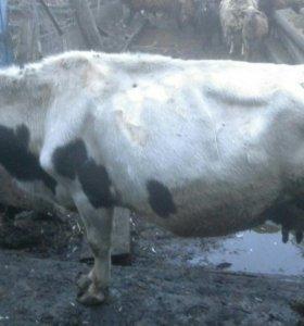 Продам корову, молочная.