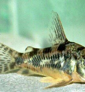 Аквариумные рыбки крапчатый сомик