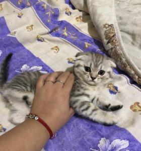 Продам шотландских вислоухих котят
