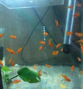 Распродаю аквариумных рыбок