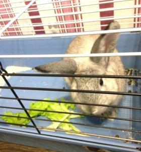 Кролик породистый