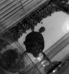 Продам черепаху