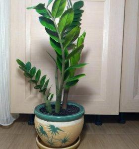 Замиокулькас 🌿 h=58 см (самого растения)