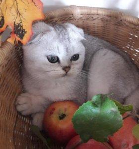 Серебристая шиншилла,котик.