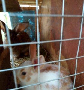 Кролики кролы крольчихи нем великан