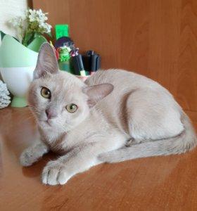 Платиновый - Лиловый кот
