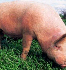 Беру свиньей и хряков