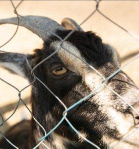 Камерунская карликовая коза