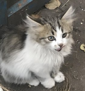 Котята (3 месяца)