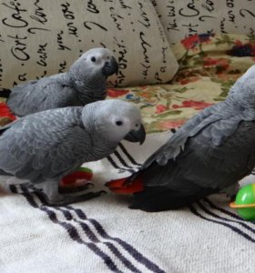 Очаровательные птенцы- выкормыши жако.