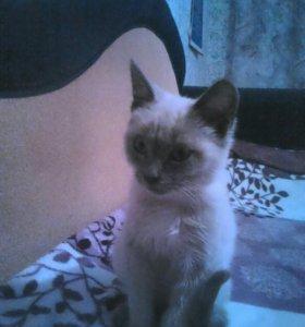 Тайский котенок, девочка.