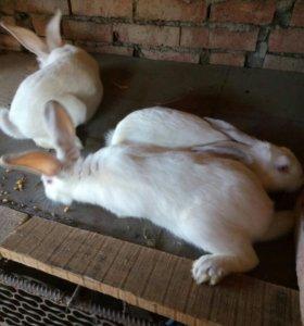 Кролики,самцы и самки.