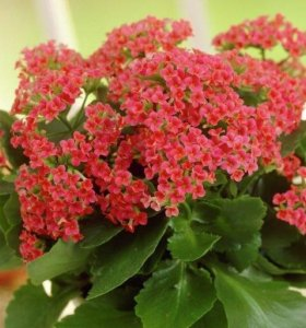 Отдам отростки цветка Каланхоэ