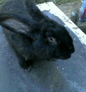 Кролики порода Ризен