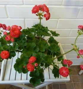 Герань пеларгония цветок розой