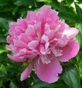 Куплю или приму в дар цветы, саженцы