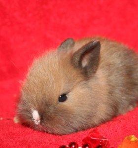 кролик мини привит. есть и другие