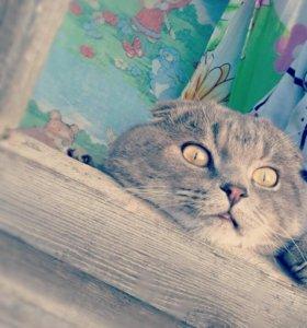 Шотланский кот ПРОДАМ ТОЛЬКО В ХОРОШИЕ РУКИ