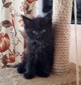 Продам котика Мейн-куна