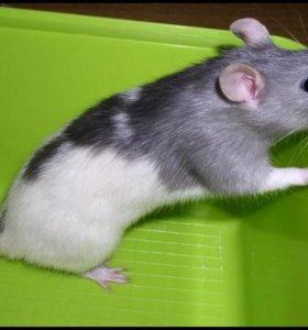 Отдадим крыску домашнюю в добрые руки