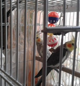 попугаи королла
