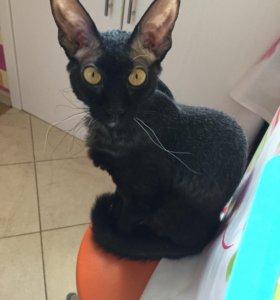 Вязка кошка сфинкс- браш
