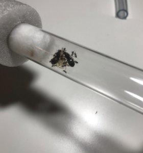 Продаю муравьёв вида lasius niger