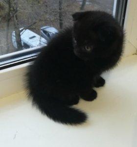 Продам Шотландского вислоухого котёнка-Девочка.