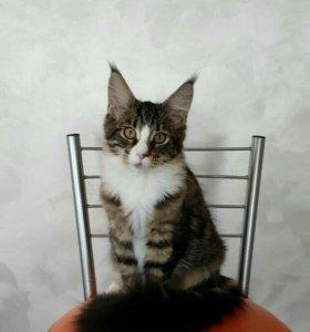 Котята от питомника, возраст 4,5 месяца.
