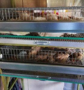 Инкубационное яйцо феникса