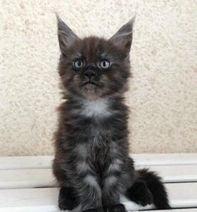 Котята мейн-кун ,мейн кун чёрный дым с документами