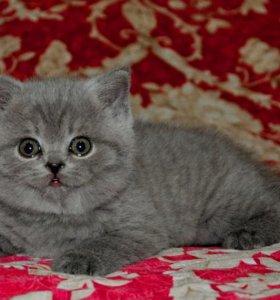 Плюшевый британский котик