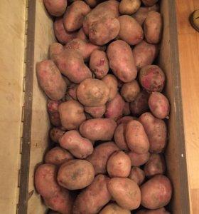 Картофель свежий, крупный. Выращен в деревне Акуди