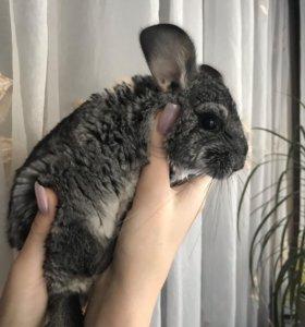 Шиншилла мальчик 4 месяца