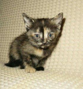 Красивый котенок трехцветка 3-х мес.в добрые руки