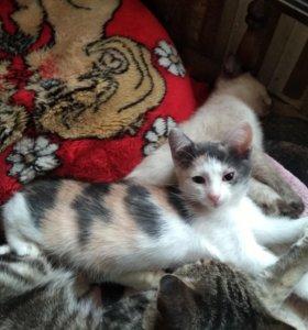 Трехцветный котёнок